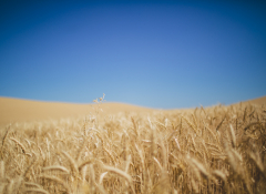 Field of grain and blue sky