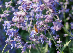 A bee gathers pollen on a bush of purple flowers
